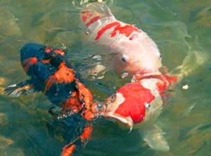 koi-Carp-swimming-300x223