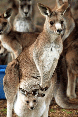 Kangaroo_01