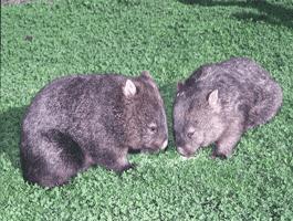 wombat-02
