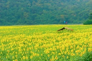sunflowerDSC05378