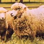 sheep05-150x150