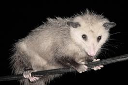 possum01