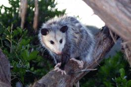 possum02