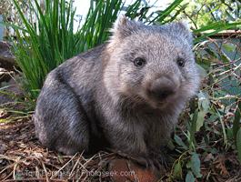 wombat-01