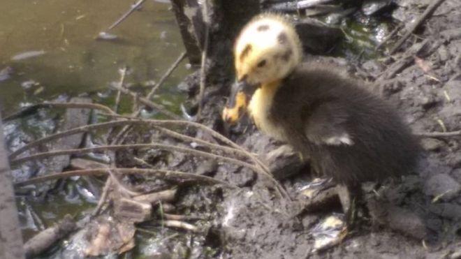 _85427614_duckling2