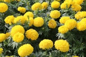 ดอกไม้ประจำรัชกาลที่ 9
