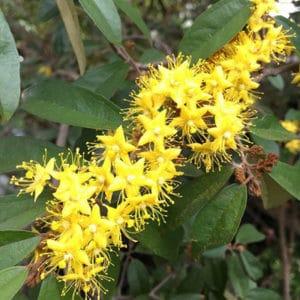 ดอกรวงผึ้ง ดอกไม้ประจำรัชกาลที่ 10