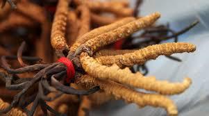 ถั่งเช่า Ophiocordyceps sinensis